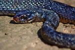 Whip Snake by danielmercieca