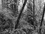 Black and White Forest 2