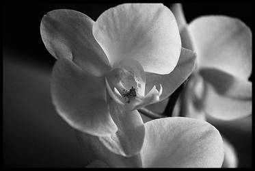 Orchid by Nataly1st