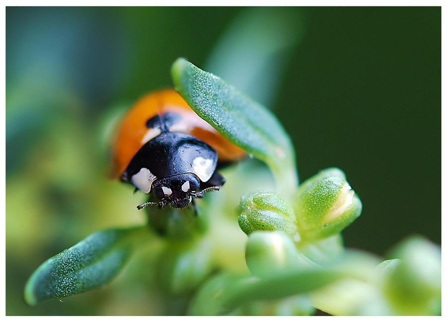 Lucky Ladybug by Nataly1st
