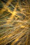 golden grass texture by beckas