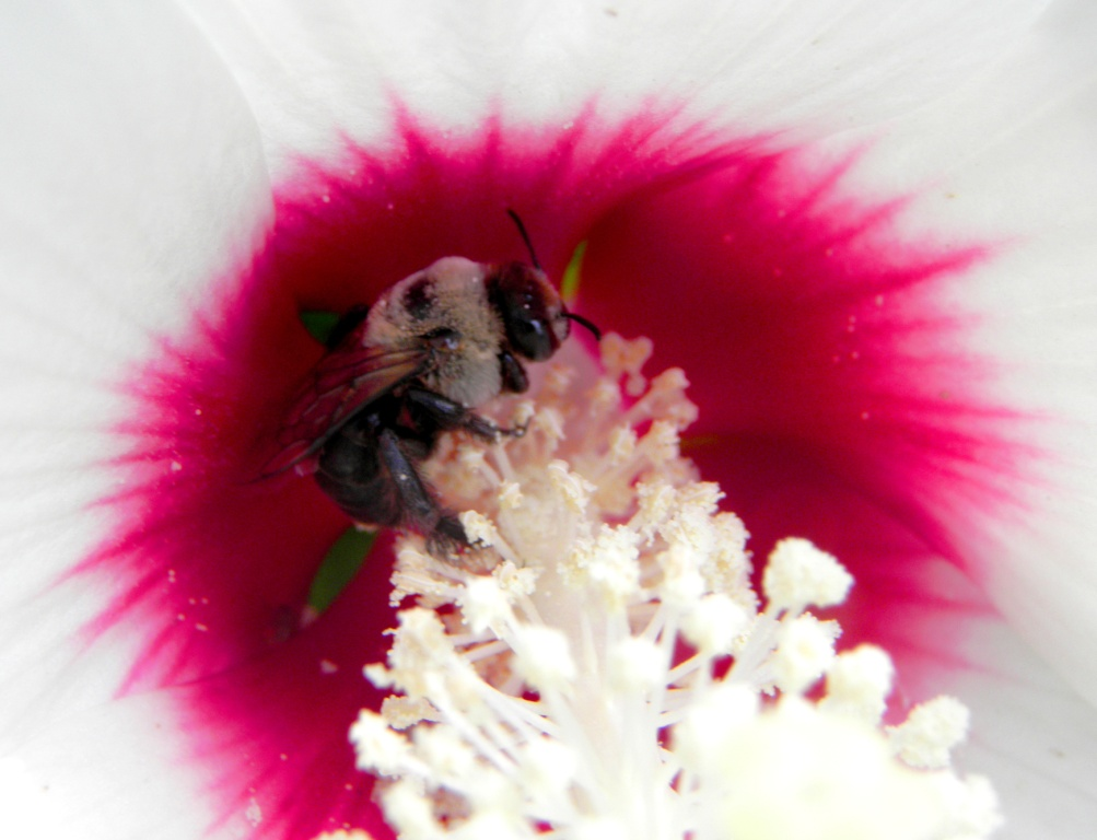 Hibiscus Bee by swordedsaint