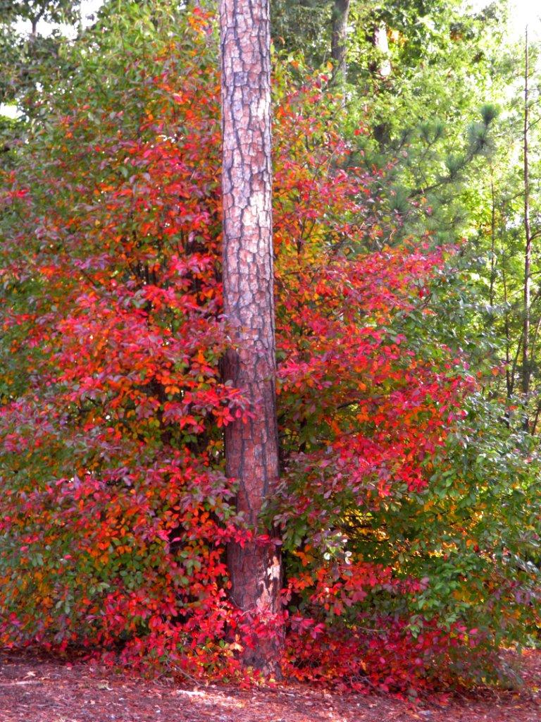 Pine On Fire by swordedsaint