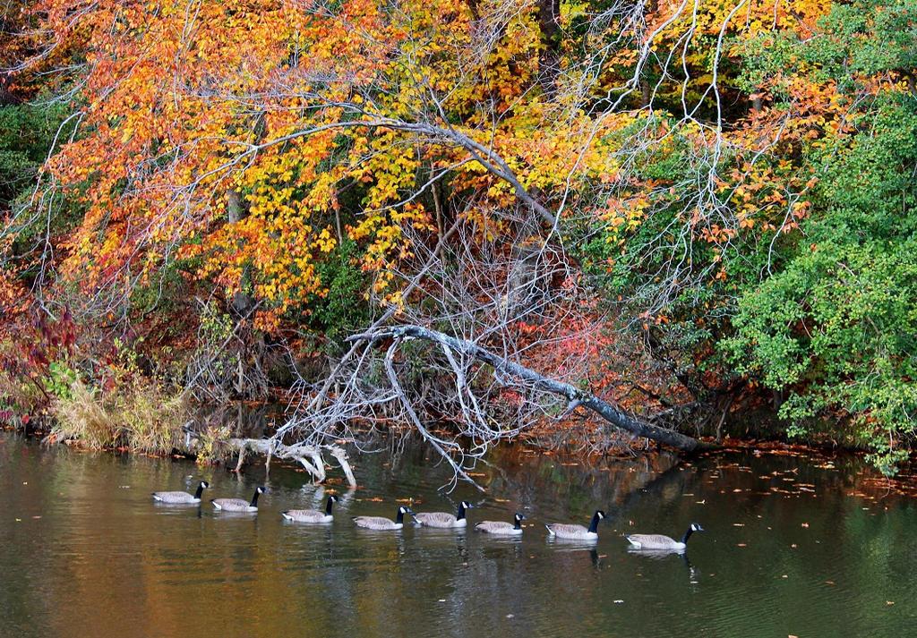 Fall Geese 3 by swordedsaint