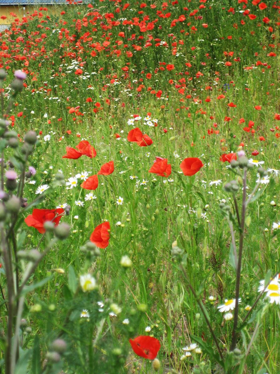 Poppy field by CAStock