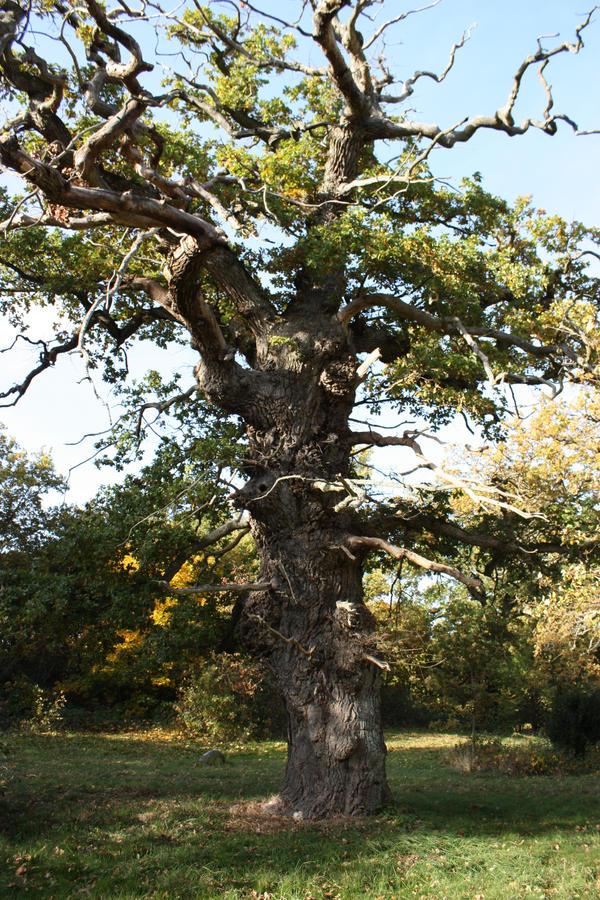 Lumpy oak tree by CAStock