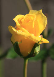 Yellow rose close up by CAStock
