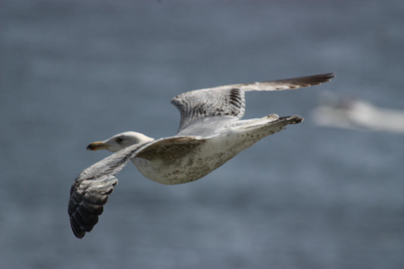 Seagull in flight 4