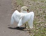 Swan wings 3