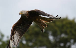 Red kite close up by CAStock