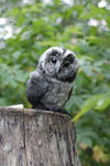 Tawny owl once again by Irentoys