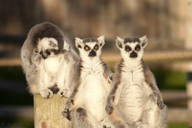 Lemurs at Drusillas Park