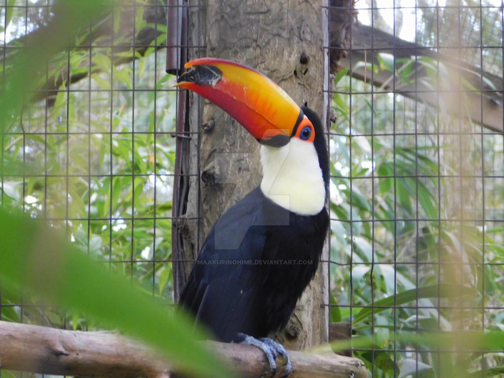 Toucan by maakurinohime