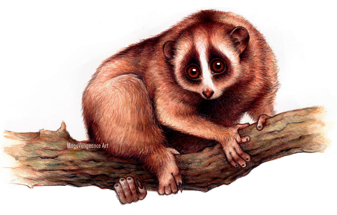 Slow Loris - Nycticebus Pygmaeus - SpeedPainting by maga-a7x