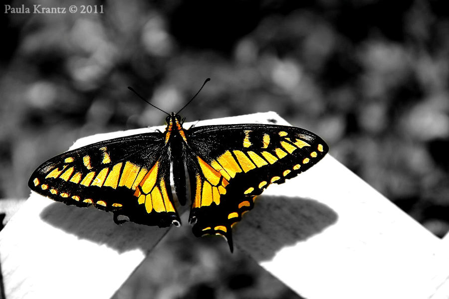 Butterfly by Thilu