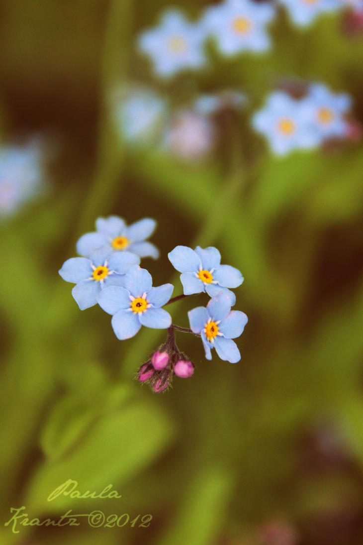 Forget-me-not by Thilu