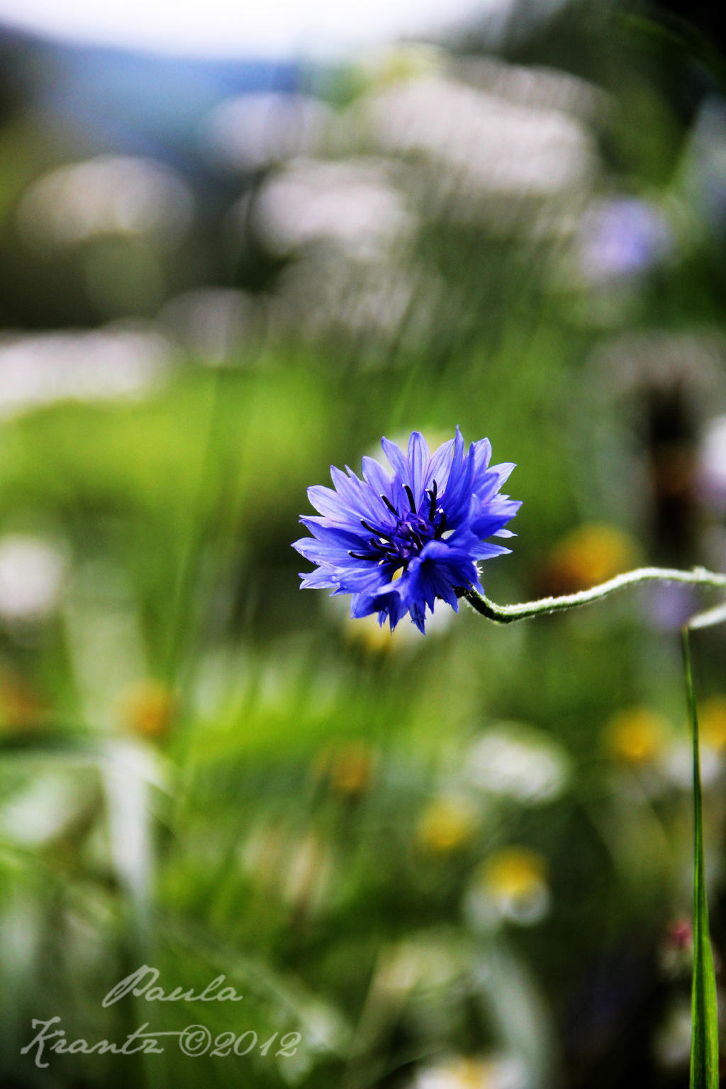 Cornflower by Thilu