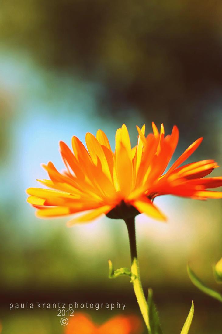 Marigold by Thilu