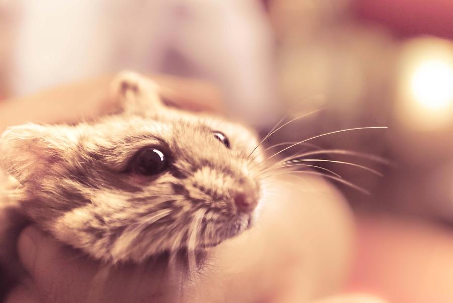 hamster by ninoynine