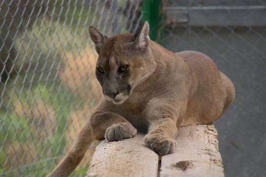 mountain lion, zoo du mont-faron