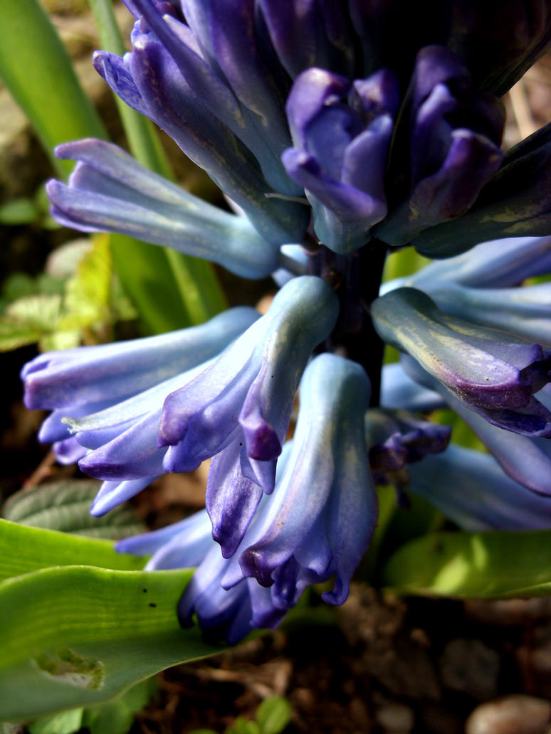 Hyacinths by auberjeanne