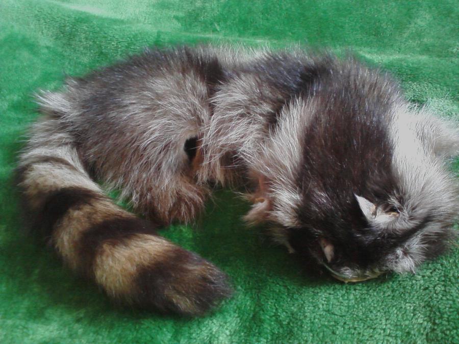 Vintage Raccoon Pelt with Tail by KonekoKaburagi