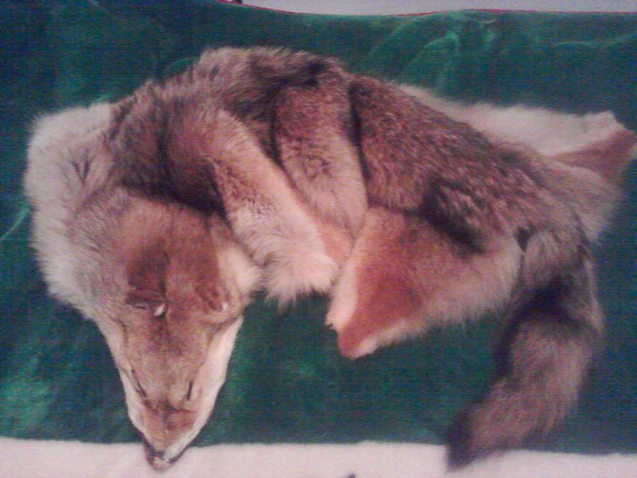 Red Coyote Pelt by KonekoKaburagi