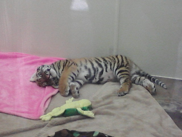 Baby Tiger by KonekoKaburagi