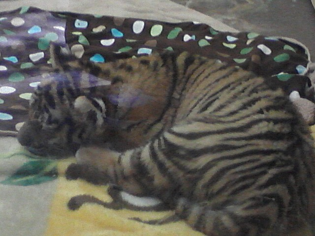 Tiger Kitten by KonekoKaburagi
