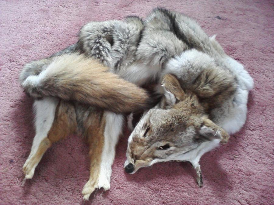 Tanned Coyote Pelt by KonekoKaburagi
