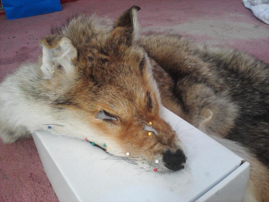 Coyote Cesare's new look by KonekoKaburagi