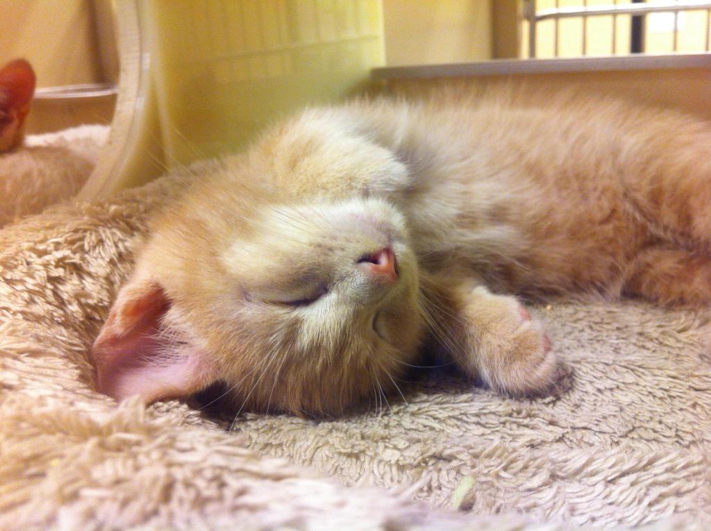 Dreaming kitten by KonekoKaburagi