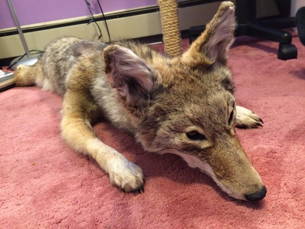 Ben: plush-mount coyote in progress by KonekoKaburagi
