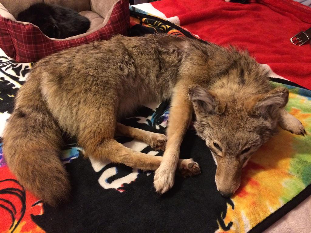 Soft-mount Taxidermy Coyote: Ben by KonekoKaburagi