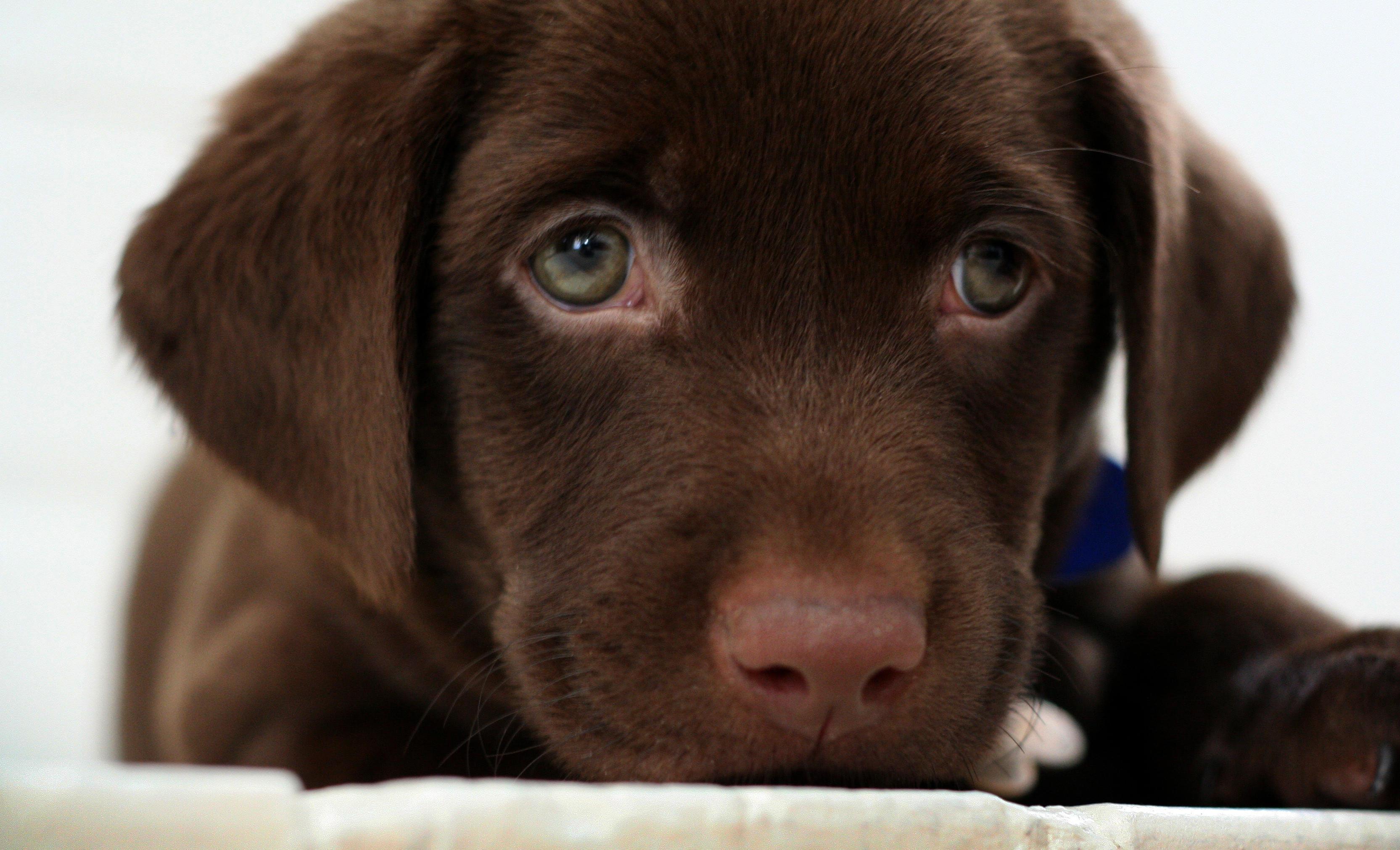 Chocolate lab puppy by buddenbohn on DeviantArt