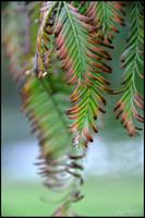 Dew Drops on Dying Fern Leaves by Esmerelde