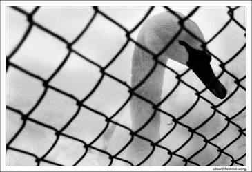 Caged Swan