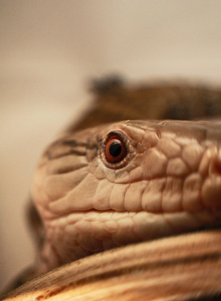 Blue tongued skink by JBlue2389