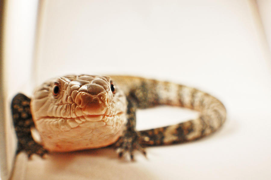 Blue tongued skink 2 by JBlue2389