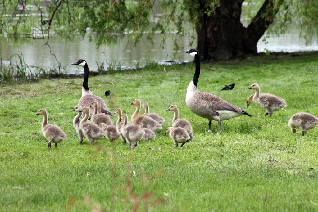 Geese with Babies by PhotoWriter87