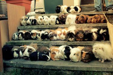 All 44 of my Guinea pigs II