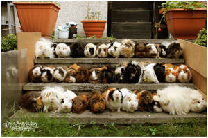 Horde of Guinea Pigs! by Clerdy