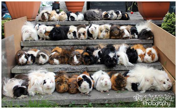 48 Guinea Pigs!