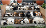 48 Guinea Pigs! by Clerdy