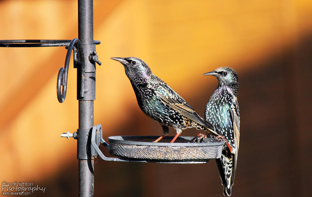 Starlings by Clerdy