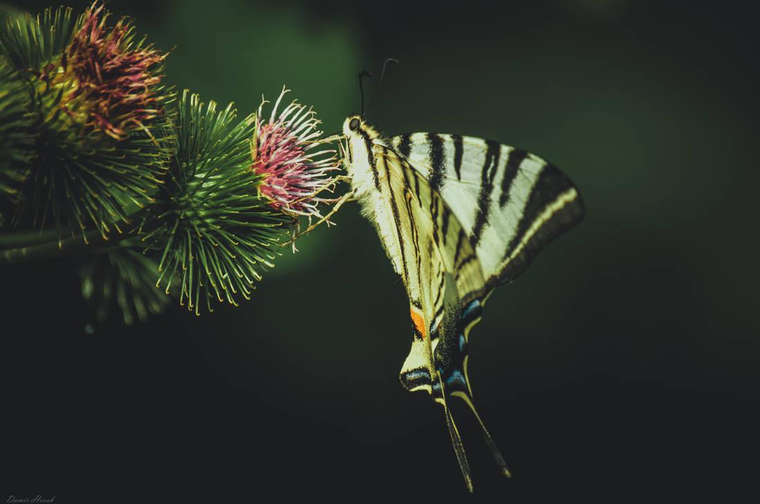 Swallowtail on Burdock Flower