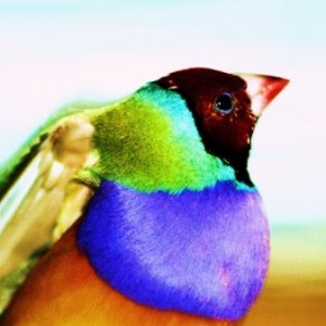 gouldian-finch's Profile Picture