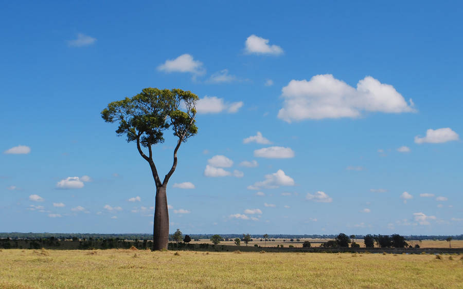 Big sky bottle tree at Baralaba by incomplete-lullaby