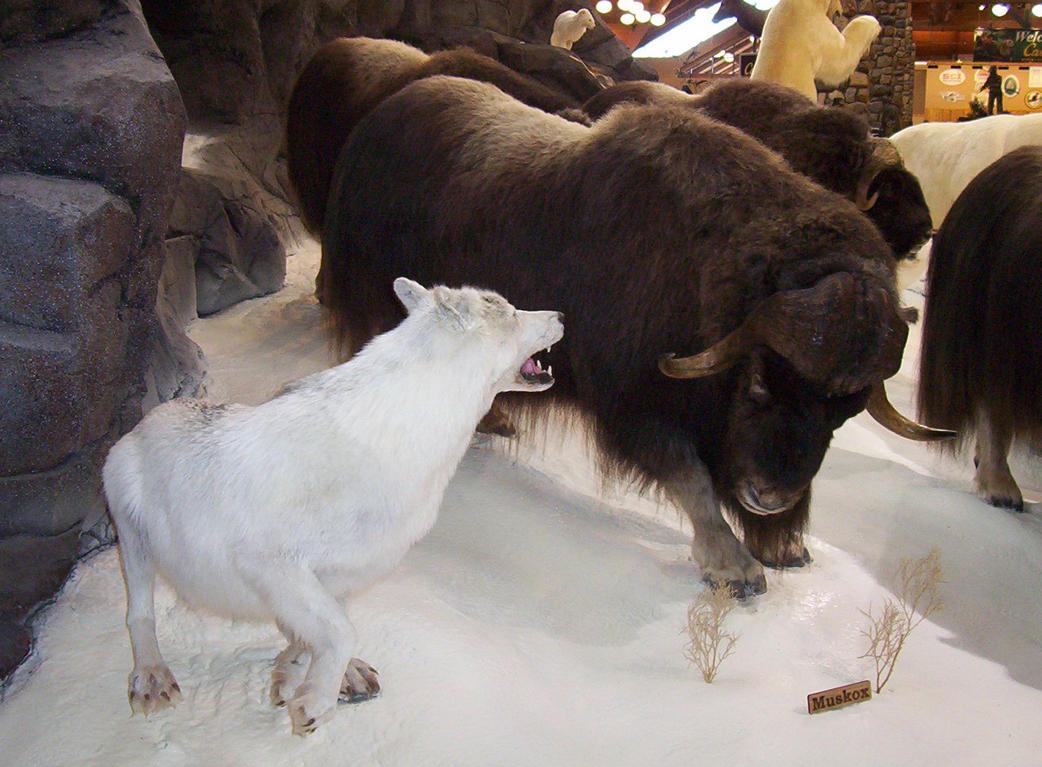 Arctic wolf diorama - photo#20