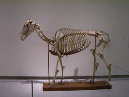 Horse skeleton by lasrinastock